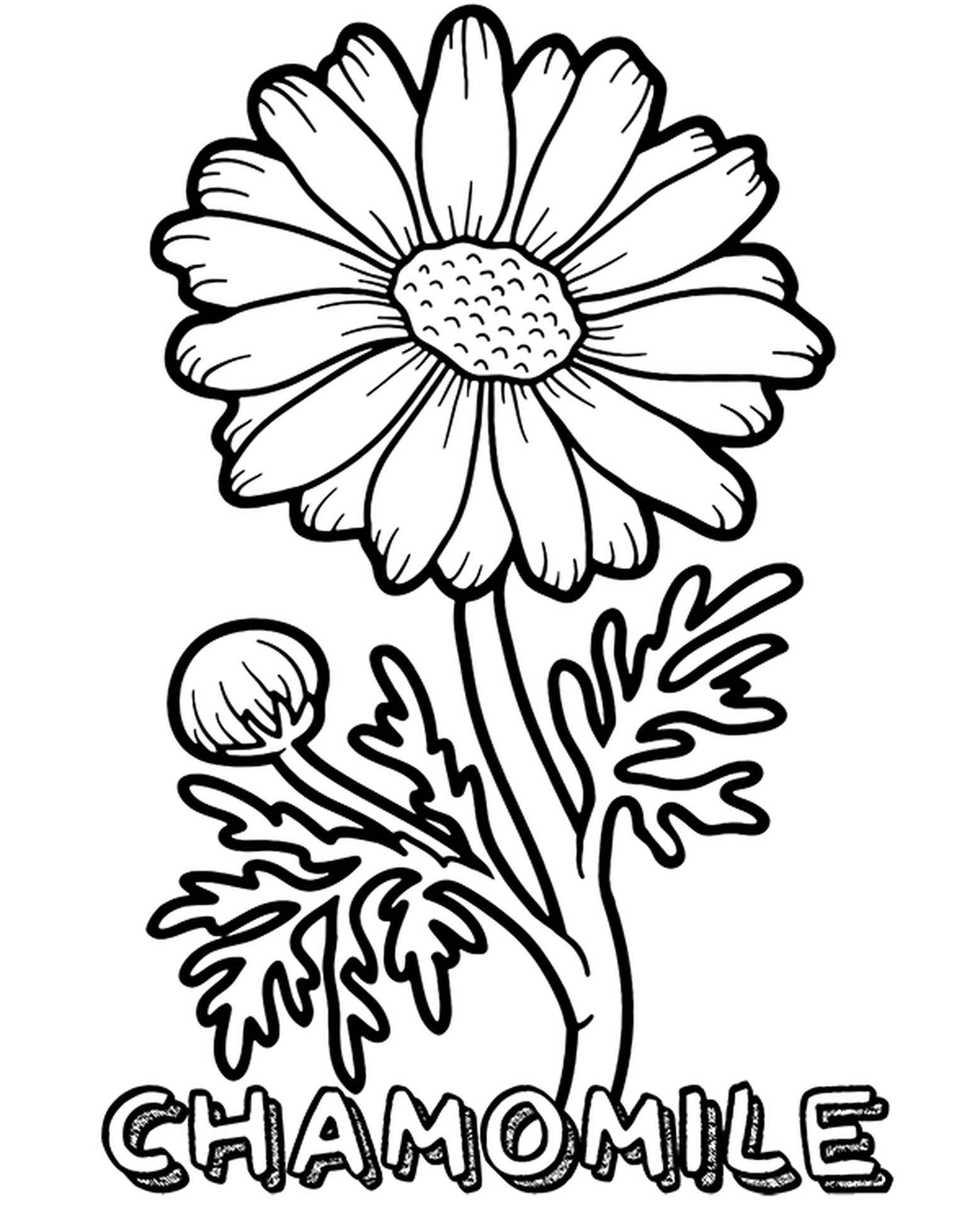 Coloring Page Pharmaceutical Chamomile